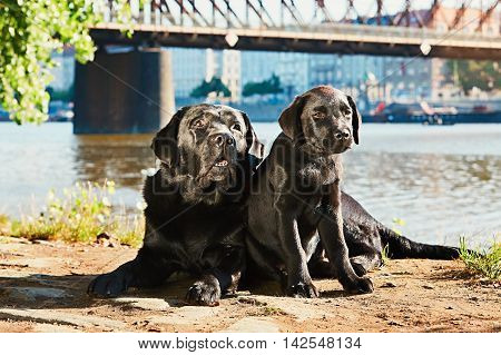 Puppy and old dog (black labrador retriever) resting on the walk in the city at sunrise. Riverside in Prague.
