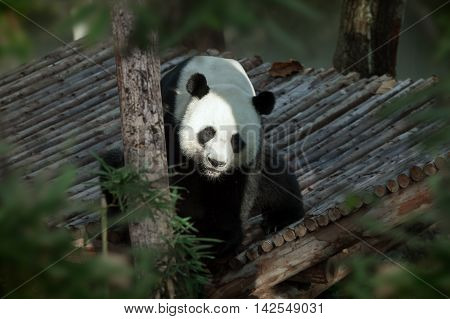 portrait of nice panda bear walking in summer environment