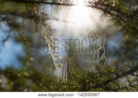 web with water drops stretched on larch needles