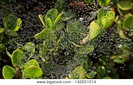 water balls on a web on cowberry bushes