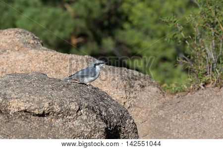 nuthatch sitting on the rocks in a forest