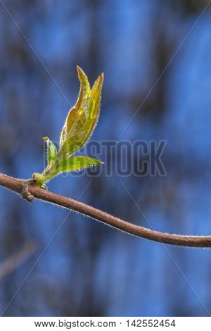 Close up of a perfoliate honeysuckle Lonicera caprifolium showing sprouting leaves on a branch silhouetted against a blue background