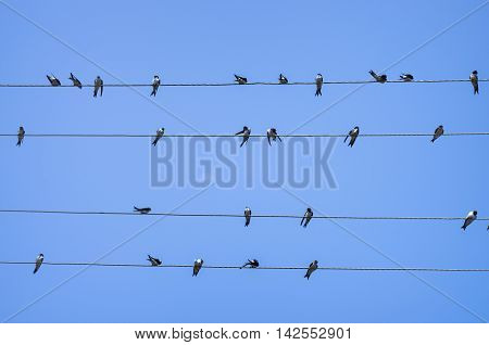 a large group sitting on the wires swallows