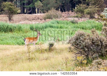 In the Netherlands on a roadside there is a fallow deer