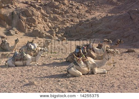 sinai desert shot of a group of camels resting in the midday sun