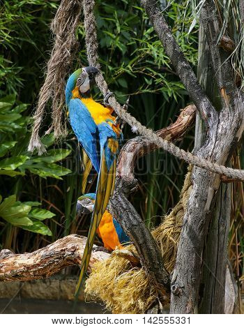 Blue And Yellow Macaws Ara Ararauna