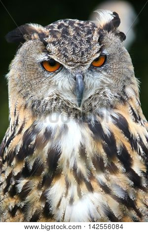 Male Bengal Eagle Owl . Bird of prey