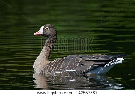 Lesser white-fronted goose (Anser erythropus) swimming in water in its habitat