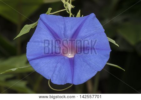 Blue Morning Glory, Ipomoea Indica, Flower, Close Up