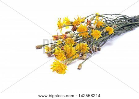 Wild plants field sow thistle isolated on a white background