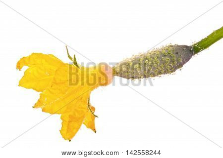 A little cucumber with a large flower is isolated on a white background