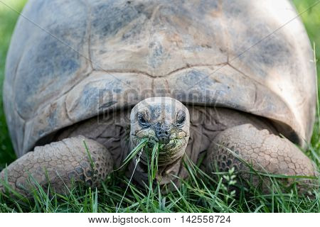 Large tortoise eating grass and looking straight