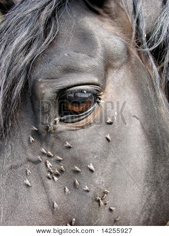 A lot of flies is near the eye of horse