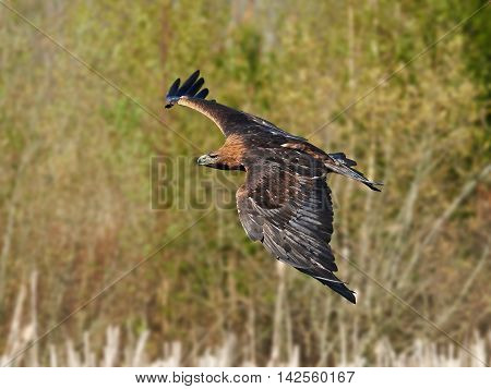 Golden eagle (Aquila chrysaetos) in flight with vegetation in the background
