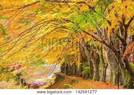Maple Corridor near Kawaguchi Lake and Mt. Fuji, Japan during autumn.