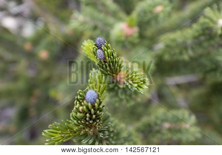 A cluster of infant bristle-cone pine cones grows on a bristle cone pine tree located in the White Mountains of California in the Ancient Bristle-cone Pine Forest.