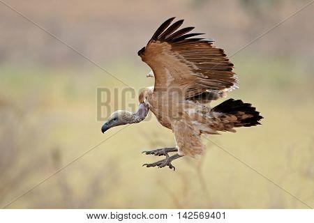 White-backed vulture (Gyps africanus) landing, Kruger National Park, South Africa