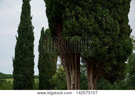 Two cypress evergreen trees against sky in summer