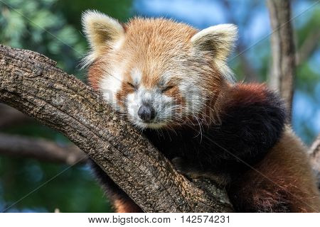 Red panda sleeping on a tree branch