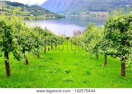 Apple orchard for cider in Ulvik Norway.