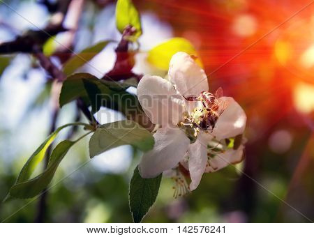 bee on a flower collects honey apple tree at sunset pollinate apple blossom
