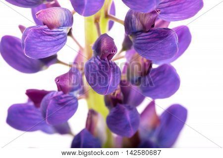 Violet flower of a lupine on a white background. A close up it is isolated on white