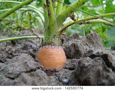 carrot is a biennial plant a subspecies of the species Daucus carota.