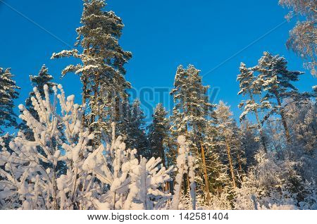 White Fairytale Icy Forest