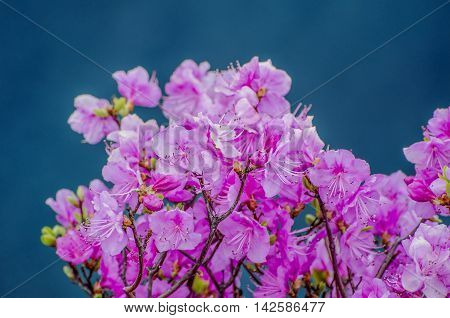 Flowers rhododendron on a blue background. Russia