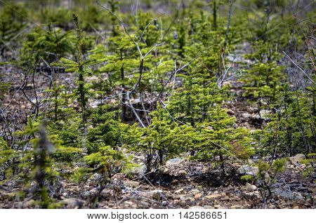 Wild colonia young fir trees after felling
