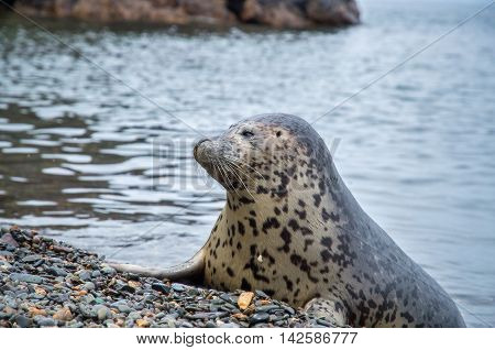 Spotted seals Larga on the pebbly shore