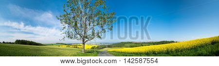 Tree and rape field panorama