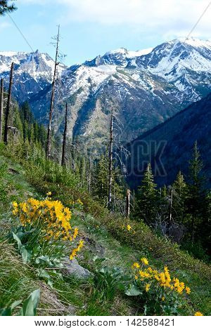 Yellow wildflowers and snow capped mountains. Fourth of July Trail  in Cascade Mountains near Leavenworth and Seattle Washington state USA.