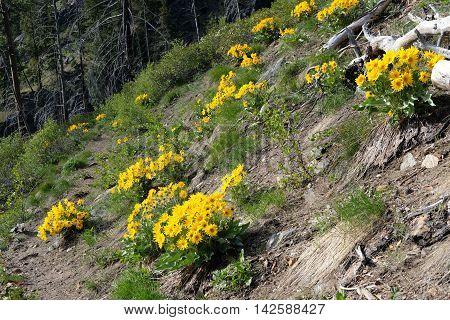 Arnica flowes on rocks. Fourth of July Trail near Leavenworth and Seattle Washington state USA.