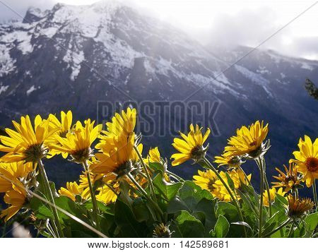Sunny yellow flowers and snow capped mountains. Fourth of July Trail near Leavenworth and Seattle Washington state USA.