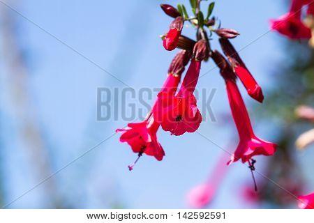 National Flower Of Peru