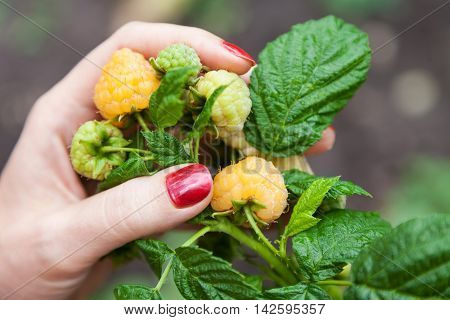 Female fingers are holding large yellow berry raspberry outdoors closeup