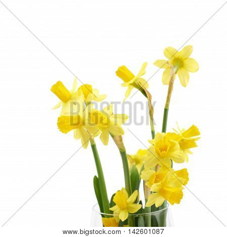 Yellow narcissus flower isolated over the white background, close-up marco crop fragment as a copyspace backdrop composition