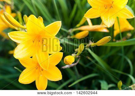 Yellow daylilies ( Hemerocallis middendofii ) blooming in a garden