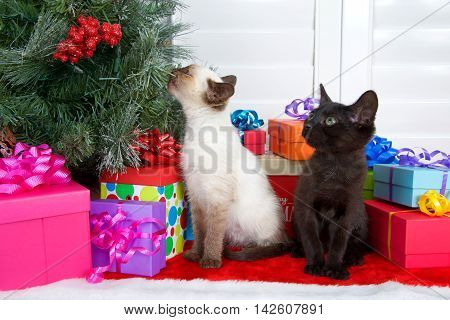 Siamese kitten sniffing Christmas Tree black kitten watching colorful presents under tree on red fur tree skirt. Novelty of the holiday. The smells of Christmas