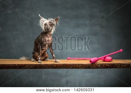Amazing chinese crested dog sits on the chipboard in the studio on the textured background. Near dog there are two pink sticks. Horizontal.
