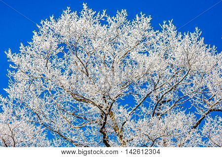 A tree in Wisconsin covered with white frost in front of a blue sky in January.