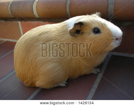 Cream And White Guinea Pig On Bricks