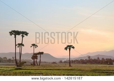 Paddy rice field in Chiangmai Thailand as background. Paddy rice fields prepare the harvest at Northern of Thailand.