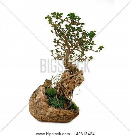 bonsai in clay pot on isolate white background