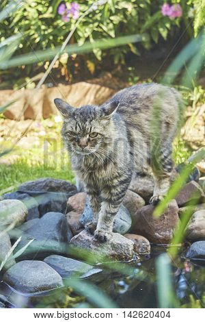 Siberian cat with hurted eye on stones