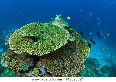 Coral reef, sea turtle and scuba diver