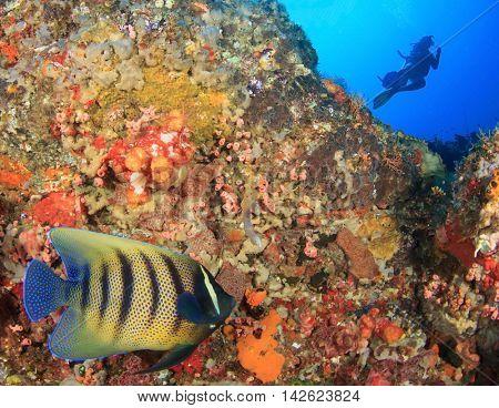 Reef fish and scuba diver (Sixbar Angelfish)