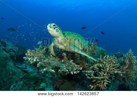 Green Sea Turtle rests on coral reef underwater