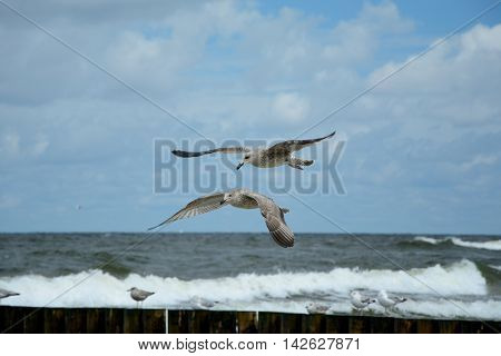 Seagulls flying over baltic sea. Shallow depth of field.